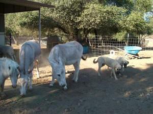 donkeys and dogs