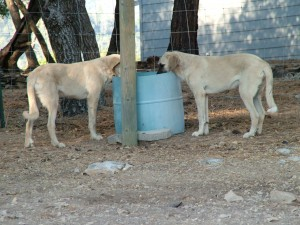 2 dogs drinking from horse trough