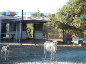 horse, dog, and prayer flags