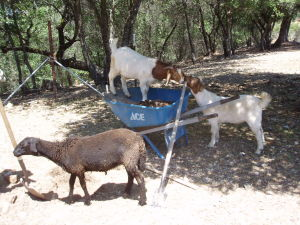 lamb and goats helping