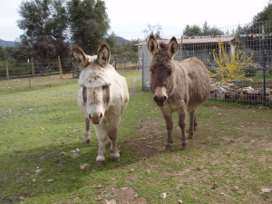 Ferdinand and Lily Rose the miniature donkeys