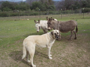guardian dog with miniature donkeys