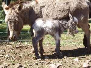 baby donkey with her mother 2 hours after birth