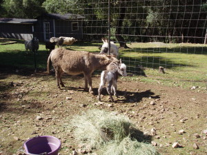 mother, father, and baby donkey