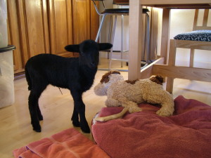 Sunshine the lamb with her stuffed dog friend