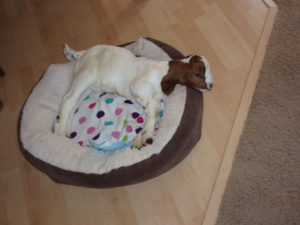baby goat in dog bed